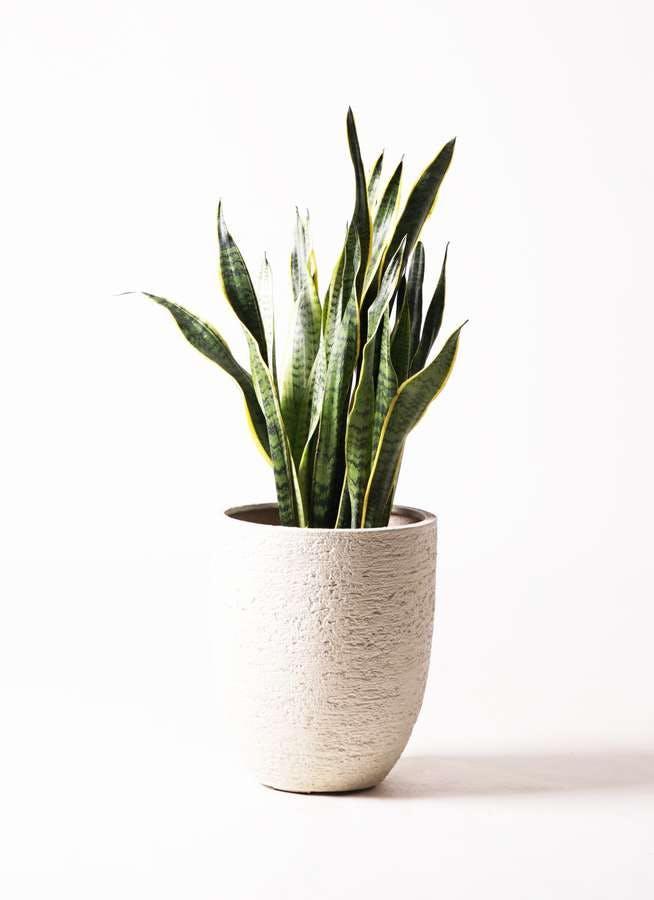 観葉植物 サンスベリア 8号 トラノオ ビアスアルトエッグ 白 付き