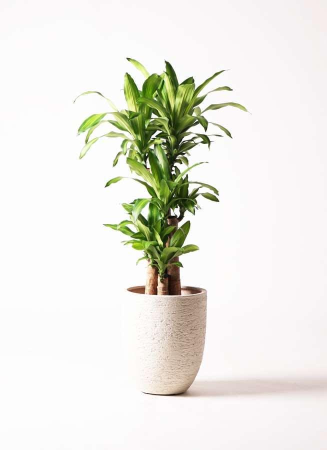 観葉植物 ドラセナ 幸福の木 8号 ノーマル ビアスアルトエッグ 白 付き