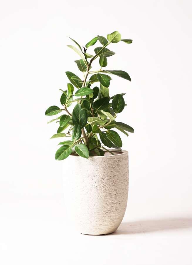 観葉植物 フィカス ベンガレンシス 7号 ストレート ビアスアルトエッグ 白 付き