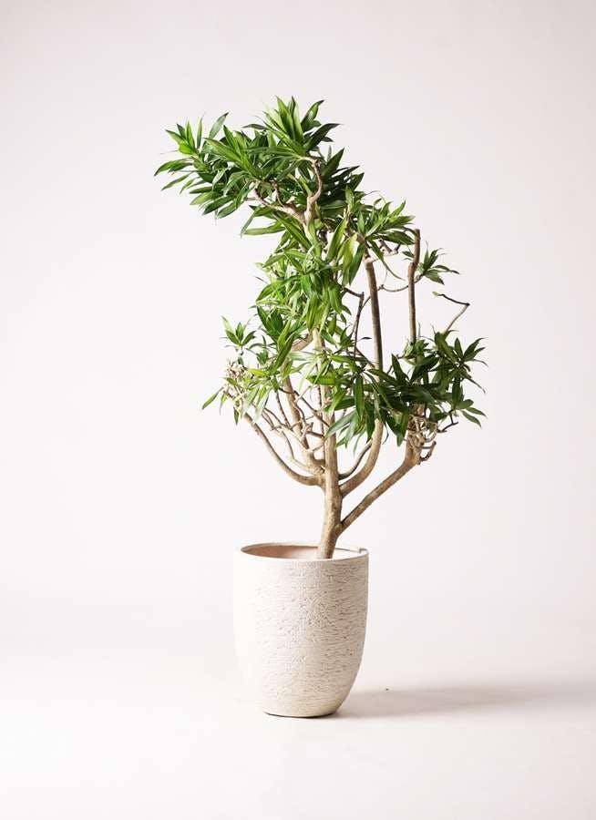 観葉植物 ドラセナ ソング オブ ジャマイカ 8号 ビアスアルトエッグ 白 付き