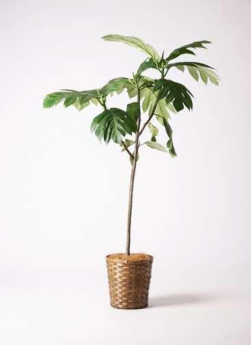 観葉植物 パンノキ 8号 竹バスケット 付き