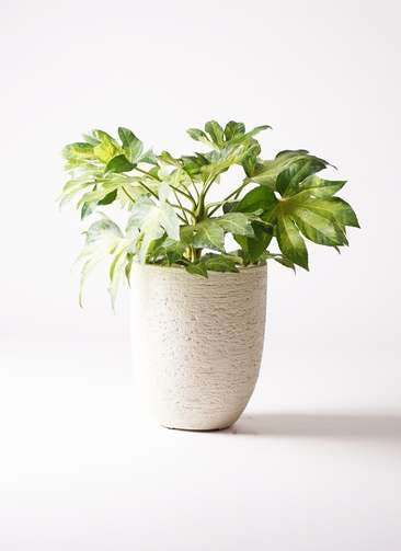 観葉植物 ヤツデ 7号 ビアスアルトエッグ 白 付き
