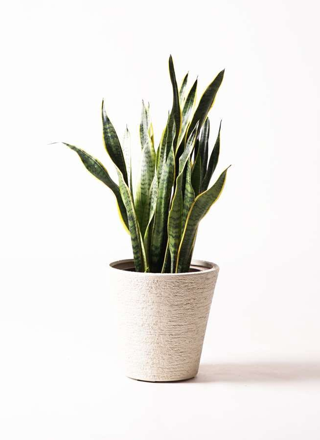 観葉植物 サンスベリア 8号 トラノオ ビアスソリッド 白 付き