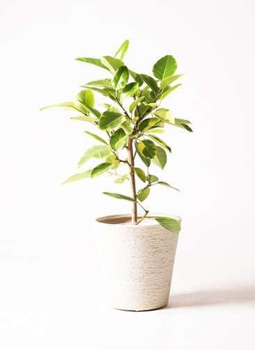 観葉植物 フィカス アルテシーマ 7号 ストレート ビアスソリッド 白 付き