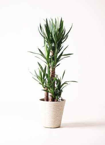 観葉植物 ユッカ 8号 ノーマル ビアスソリッド 白 付き