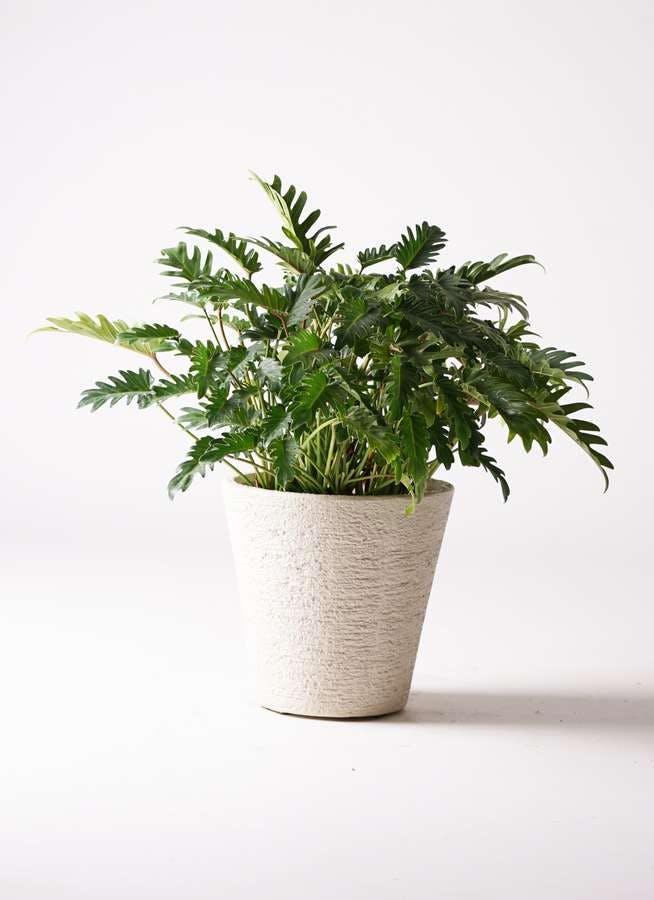 観葉植物 クッカバラ 7号 ビアスソリッド 白 付き