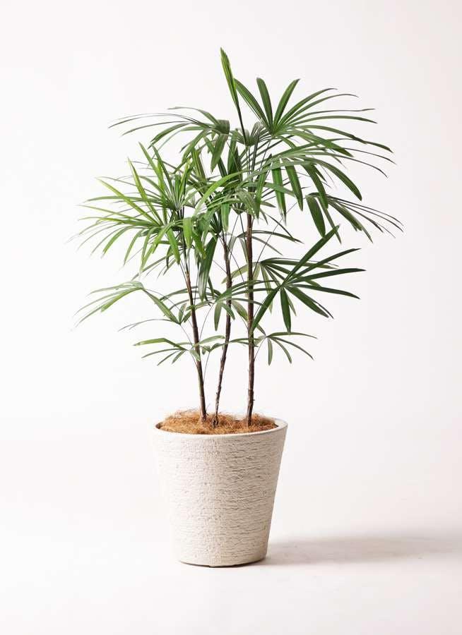 観葉植物 シュロチク(棕櫚竹) 8号 ビアスソリッド 白 付き