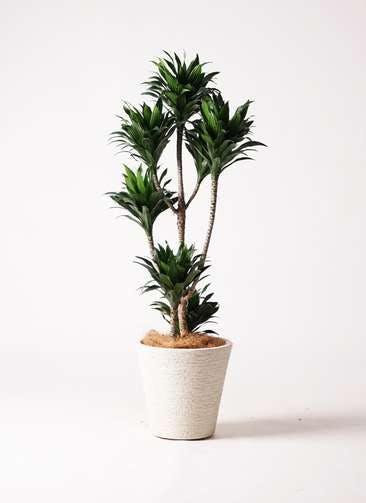 観葉植物 ドラセナ コンパクター 8号 ビアスソリッド 白 付き