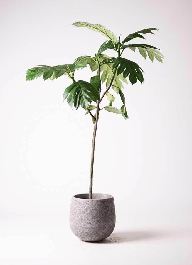 観葉植物 パンノキ 8号 エコストーンGray 付き