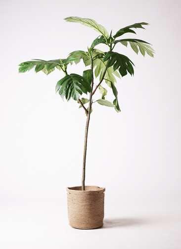 観葉植物 パンノキ 8号 リブバスケットNatural 付き