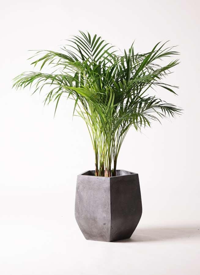 観葉植物 アレカヤシ 8号 ファイバークレイ Gray 付き