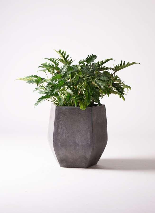 観葉植物 クッカバラ 7号 ファイバークレイ Gray 付き