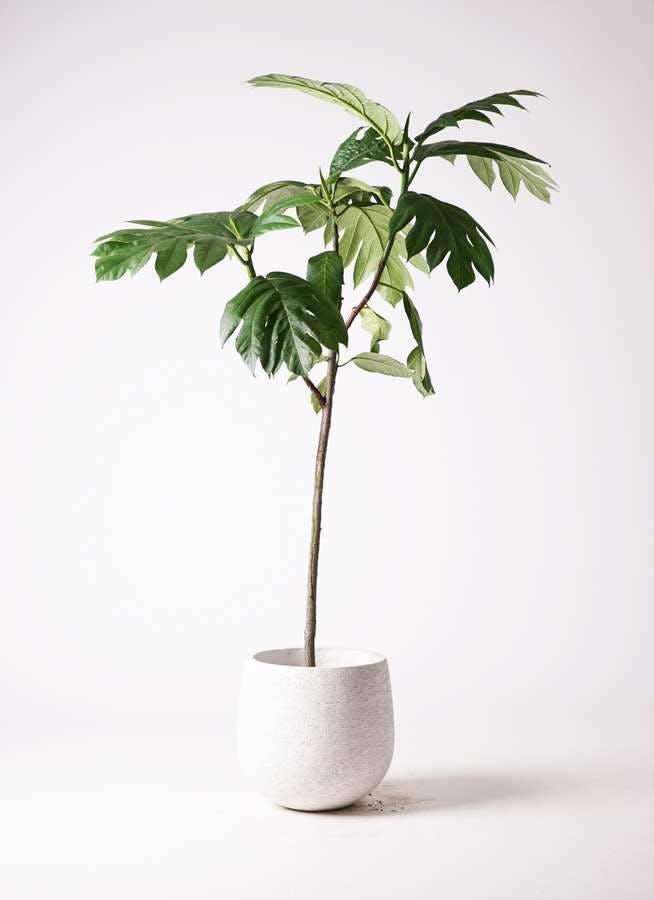 観葉植物 パンノキ 8号 エコストーンwhite 付き