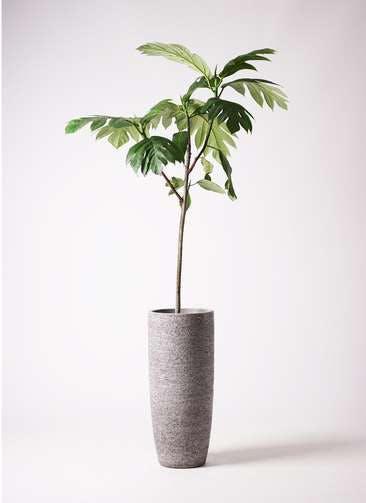 観葉植物 パンノキ 8号 エコストーントールタイプ Gray 付き