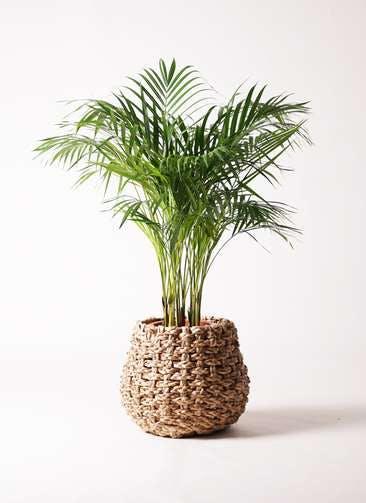 観葉植物 アレカヤシ 8号 ラッシュバスケット Natural 付き