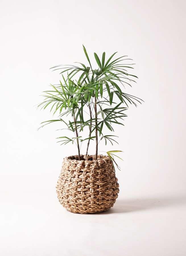 観葉植物 シュロチク(棕櫚竹) 8号 ラッシュバスケット Natural 付き