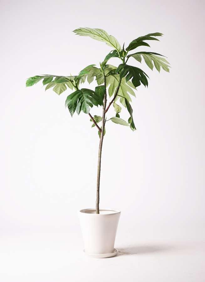 観葉植物 パンノキ 8号 サブリナ 白 付き