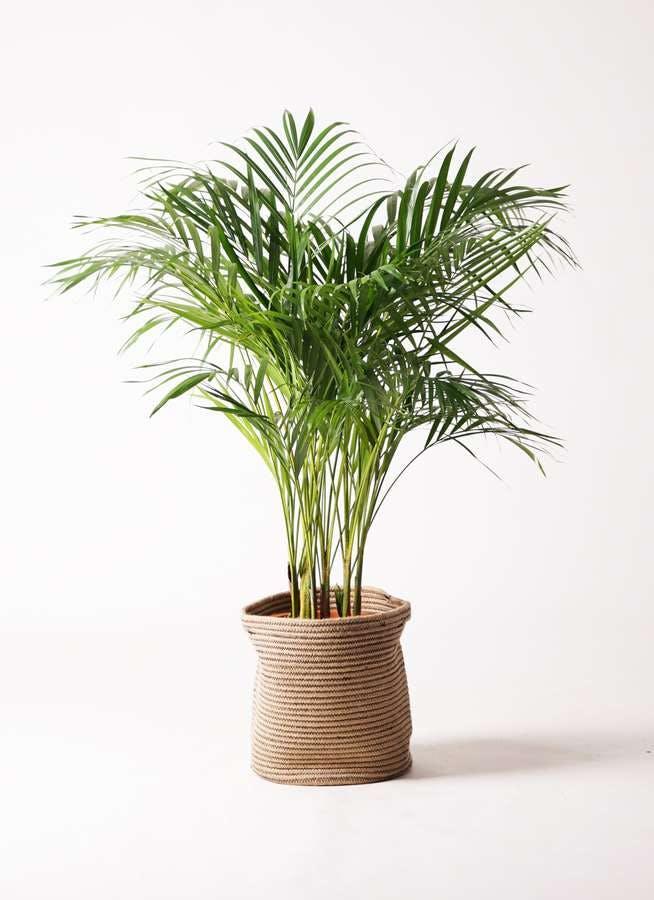観葉植物 アレカヤシ 8号 リブバスケットNatural 付き