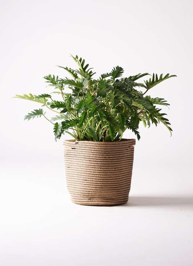 観葉植物 クッカバラ 7号 リブバスケットNatural 付き