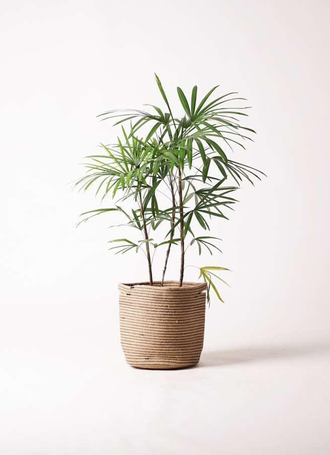 観葉植物 シュロチク(棕櫚竹) 8号 リブバスケットNatural 付き