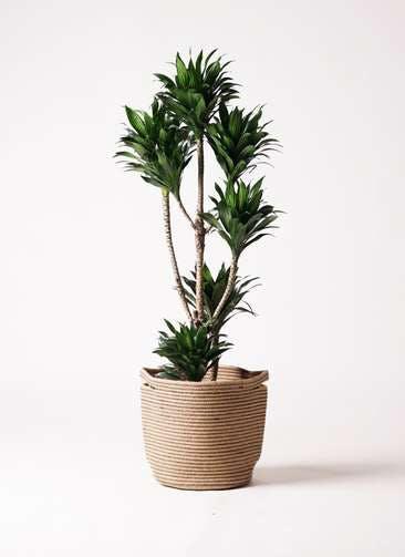 観葉植物 ドラセナ コンパクター 8号 リブバスケットNatural 付き