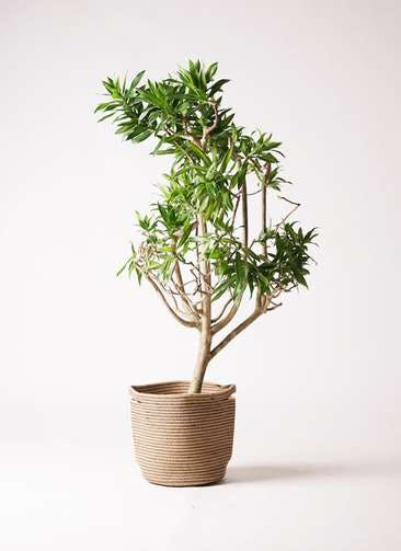 観葉植物 ドラセナ ソング オブ ジャマイカ 8号 リブバスケットNatural 付き
