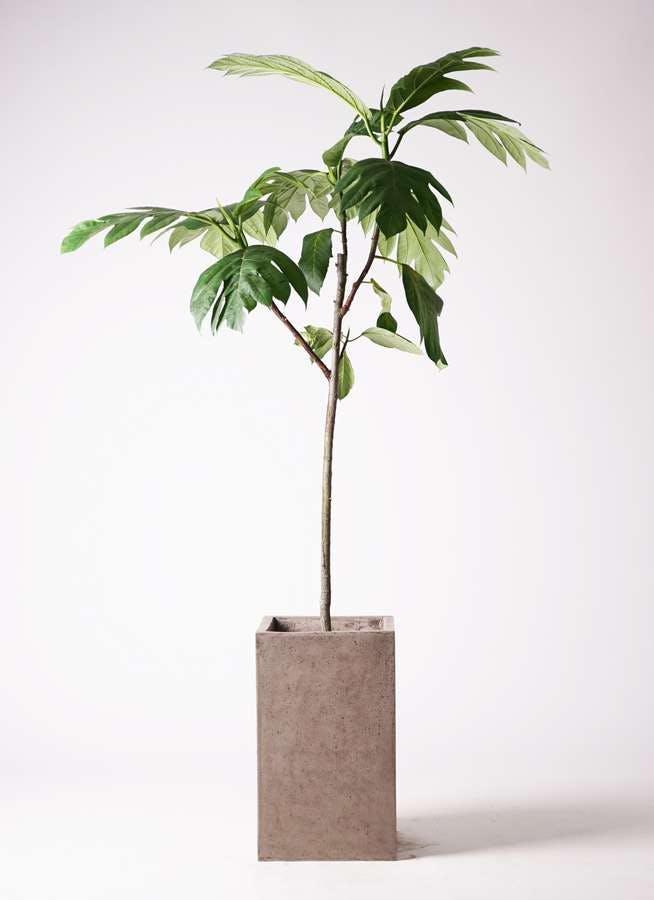 観葉植物 パンノキ 8号 セドナロング グレイ 付き
