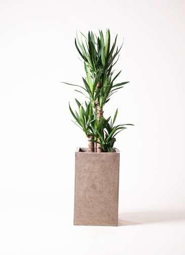 観葉植物 ユッカ 8号 ノーマル セドナロング グレイ 付き