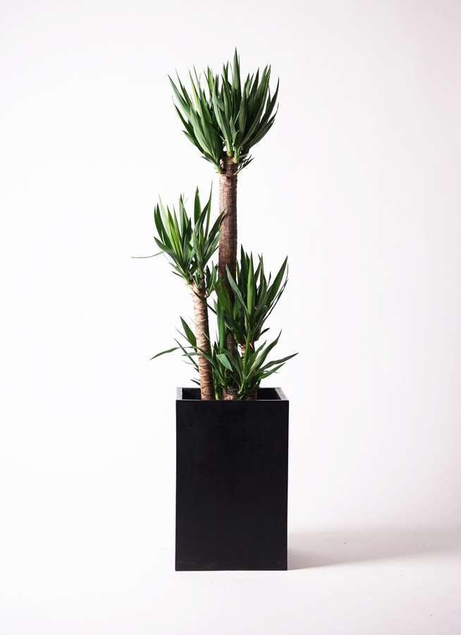 観葉植物 ユッカ 10号 ノーマル セドナロング 墨 付き