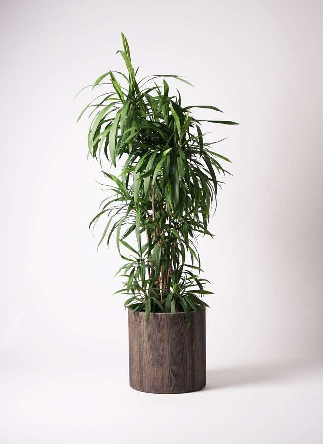 観葉植物 コルディリネ (コルジリネ) ストリクタ 10号 アルファシリンダープランター 付き