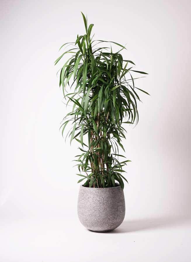 観葉植物 コルディリネ (コルジリネ) ストリクタ 10号 エコストーンGray 付き