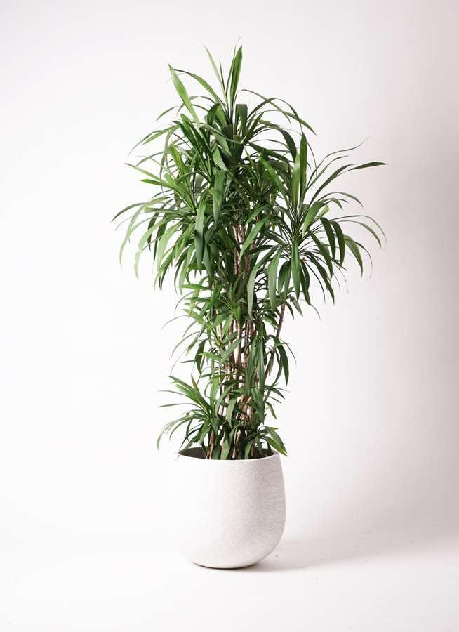 観葉植物 コルディリネ (コルジリネ) ストリクタ 10号 エコストーンwhite 付き