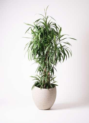 観葉植物 コルディリネ (コルジリネ) ストリクタ 10号 エコストーンLight Gray 付き