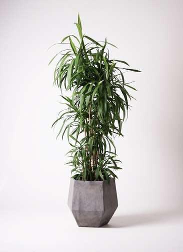 観葉植物 コルディリネ (コルジリネ) ストリクタ 10号 ファイバークレイGray 付き