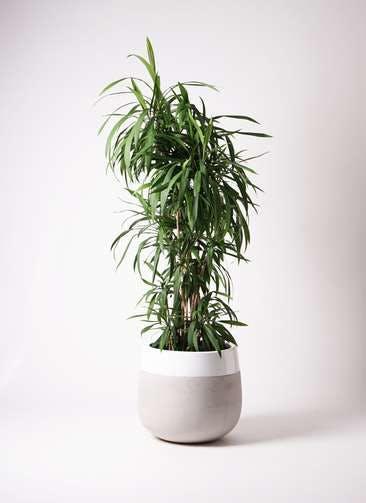 観葉植物 コルディリネ (コルジリネ) ストリクタ 10号 ファイバーストーンタウルス ミドル 白 付き