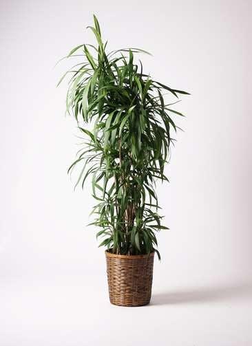 観葉植物 コルディリネ (コルジリネ) ストリクタ 10号 竹バスケット 付き