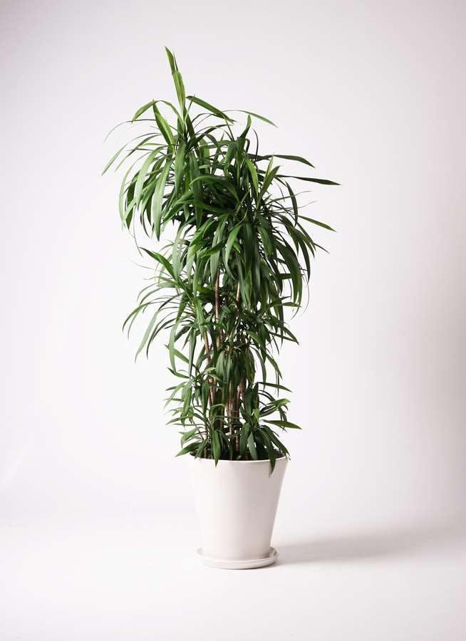 観葉植物 コルディリネ (コルジリネ) ストリクタ 10号 サブリナ 白 付き