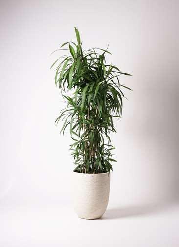観葉植物 コルディリネ (コルジリネ) ストリクタ 10号 ビアスアルトエッグ 白 付き