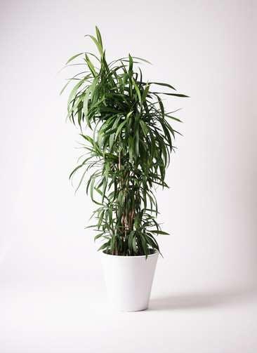 観葉植物 コルディリネ (コルジリネ) ストリクタ 10号 10号 フォリオソリッド 白 付き