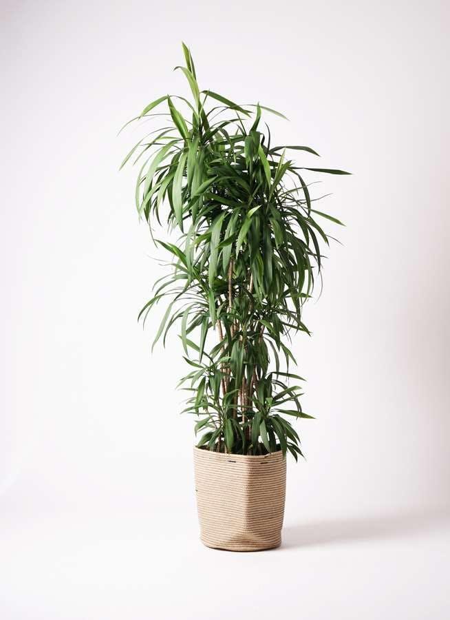 観葉植物 コルディリネ (コルジリネ) ストリクタ 10号 リブバスケットNatural 付き