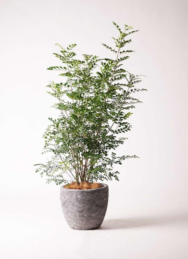 観葉植物 シマトネリコ 8号 アビスソニアミドル 灰 付き