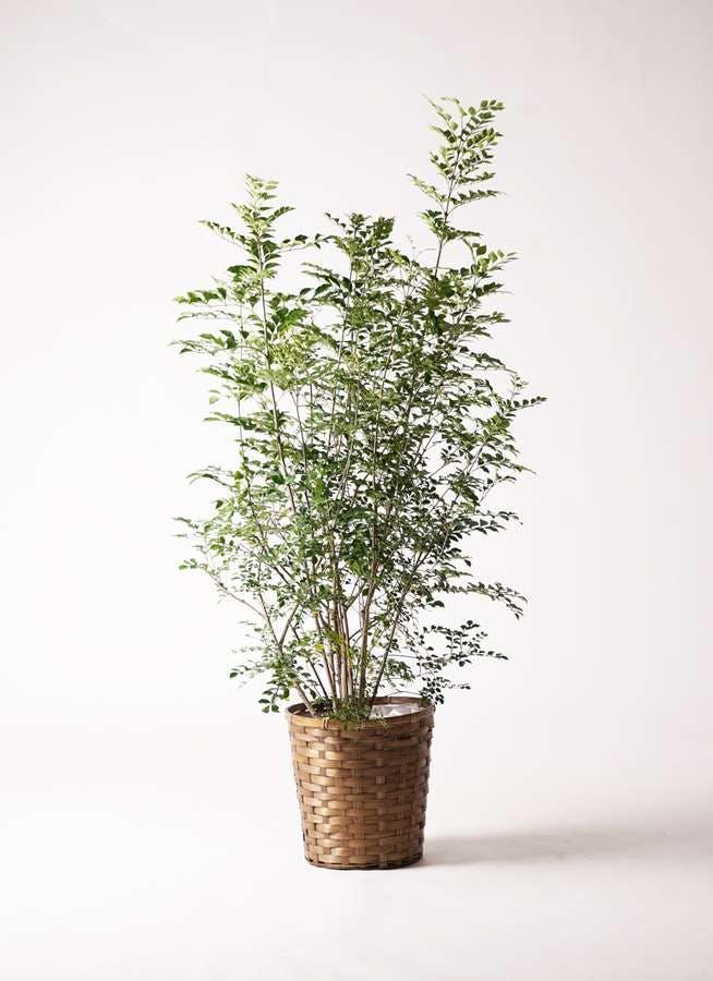 観葉植物 シマトネリコ 8号 竹バスケット 付き
