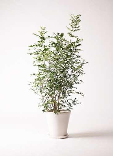 観葉植物 シマトネリコ 8号 サブリナ 白 付き