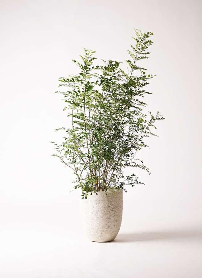 観葉植物 シマトネリコ 8号 ビアスアルトエッグ 白 付き
