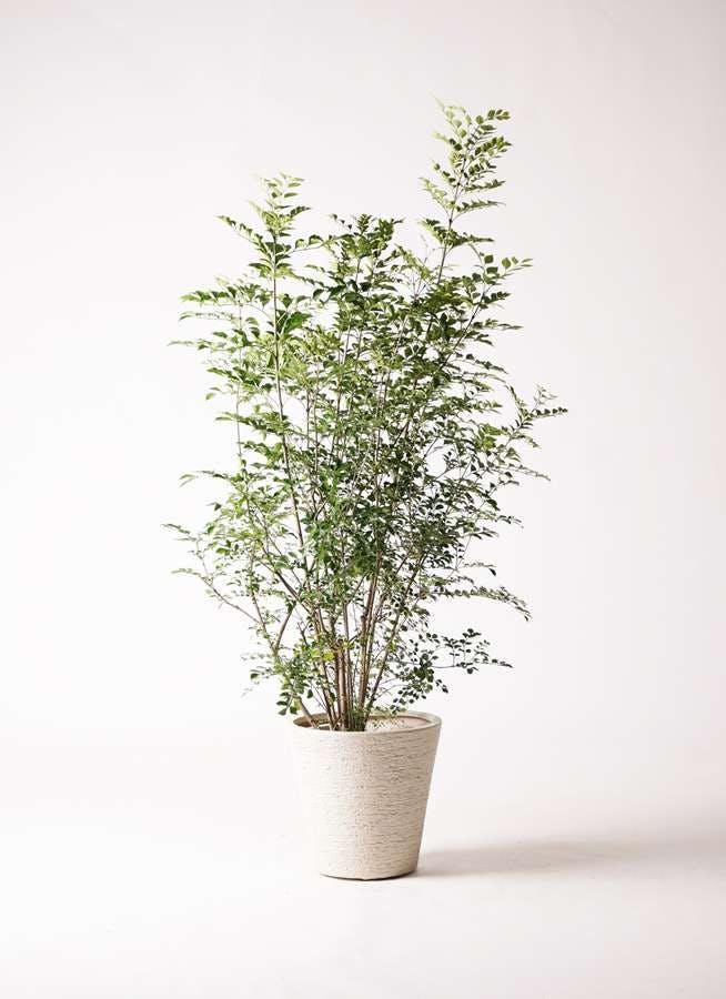 観葉植物 シマトネリコ 8号 ビアスソリッド 白 付き