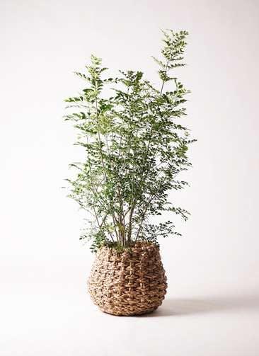 観葉植物 シマトネリコ 8号 ラッシュバスケット Natural 付き