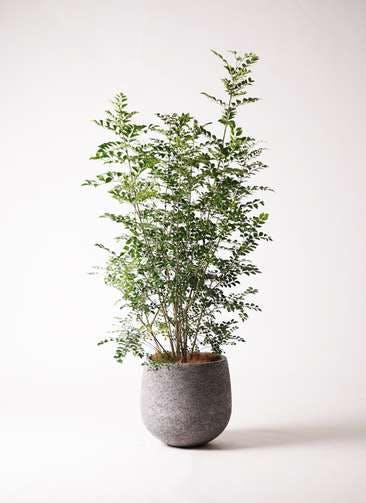 観葉植物 シマトネリコ 8号 エコストーンGray 付き