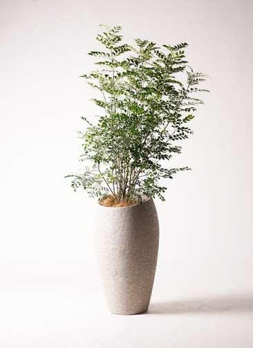 観葉植物 シマトネリコ 8号 エコストーントールタイプ Light Gray 付き