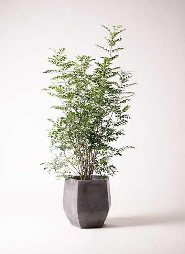 観葉植物 シマトネリコ 8号 ファイバークレイ Gray 付き