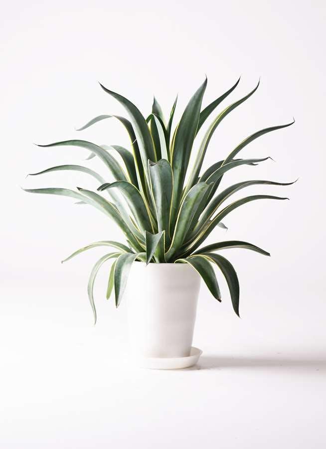 観葉植物 アガベ 7号 ベネズエラ プラスチック鉢